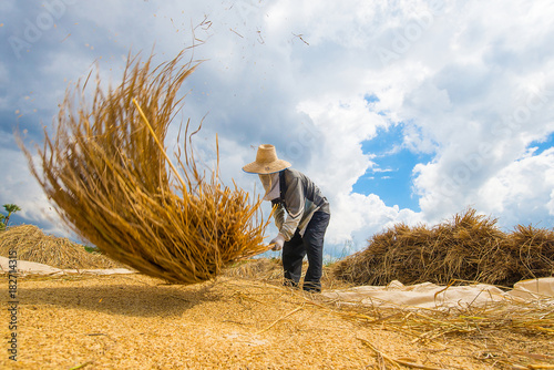 Fotobehang Thailand The farmer was hitting the rice paddies on the ground so that th
