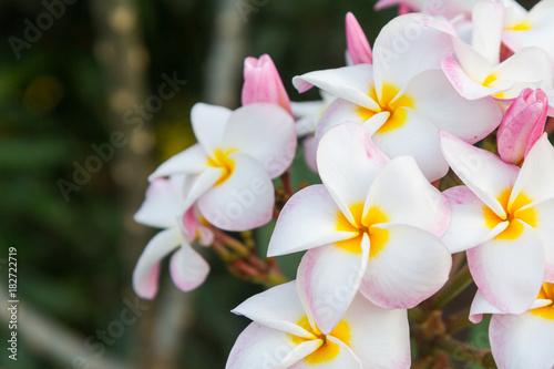 Fotobehang Plumeria White pink Plumeria flower