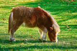 Pony Grazing on a Lown