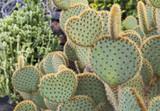 kaktusy w kształcie serca - 182731541