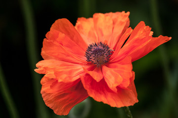Flaming Poppy