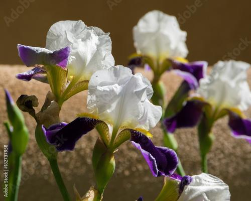 Plexiglas Iris Purple Iris