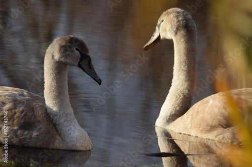 Fotobehang Zwaan Youngs swans swimming in a lake in the netherlands on an autumn day