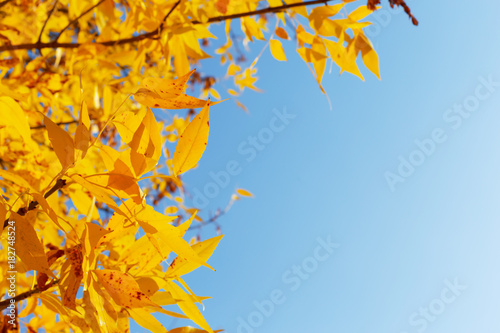 Foto op Aluminium Herfst Tree with yellow leaves in sunset