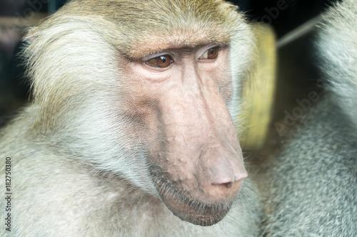 Fotobehang Aap Close-up portrait of baboon monkey looking sideways