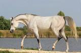 Thoroughbred Arabian  - 182751545