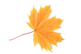 Dry maple leaf isolated on a white background - 182759510