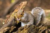 squirrel 5 - 182760574