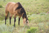 Buckskin horse grazing in green open meadow with wildflowers scattered around.