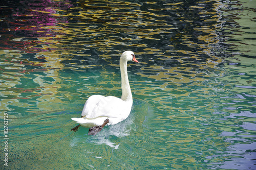 Fotobehang Zwaan A beautiful white swan floats on clear water