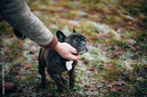 Foto op Aluminium Franse bulldog black french bulldog