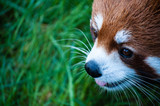 Red panda close up face in the Great Vancouver Zoo - 182764579