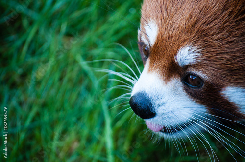 Fotobehang Panda Red panda close up face in the Great Vancouver Zoo