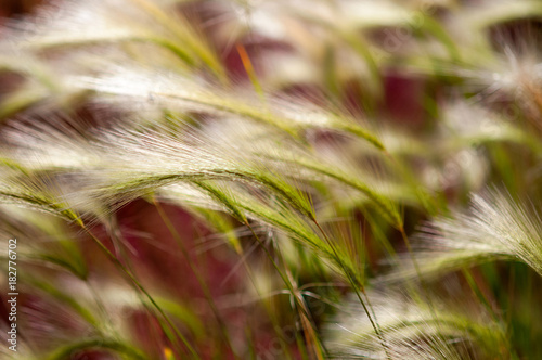 Staande foto Arizona Foxtail Barley