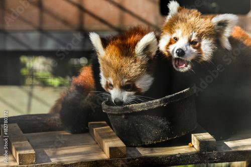 Plexiglas Panda Cub Brothers Sharing a Meal