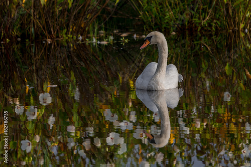 Fotobehang Zwaan White swan swimming in flower reflection waters