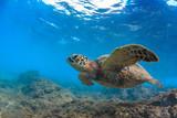 Sea turtle underwater against blue water background