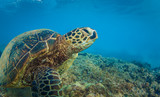 Sea turtle on bottom underwater against blue water background