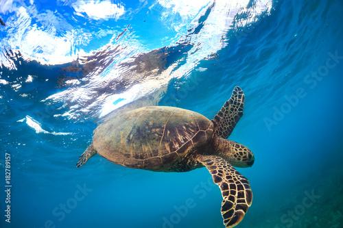 Turtle underwater near water surface Poster