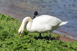 swan is eating grass - 182790519
