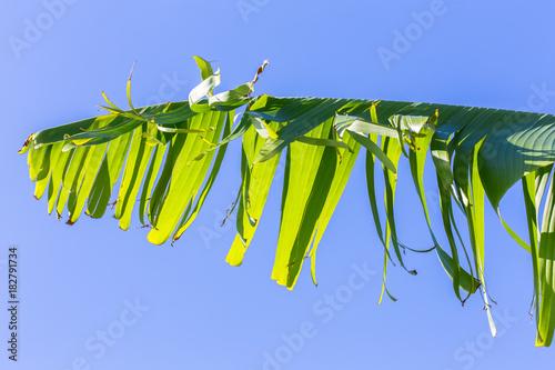 Foto Murales feuille de bananier sur fond de ciel bleu