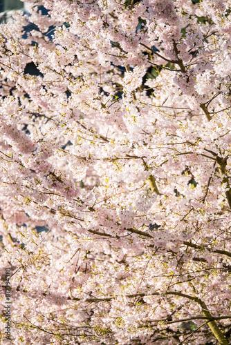 Fotobehang Stenen pink cherry blossom