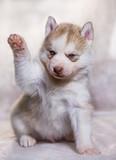A husky puppy raised paw - 182798162