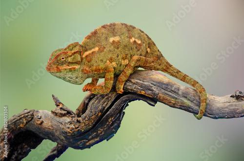 Aluminium Kameleon Chameleon on branch