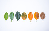 Fototapety Closeup eaves in different color and age of the jackfruit tree leaves. Line of colorful leaves in autumn season. For environment changed concept. Top view or flat lay background and banner.
