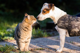 Cute jack russel dog and domestic kitten best friends