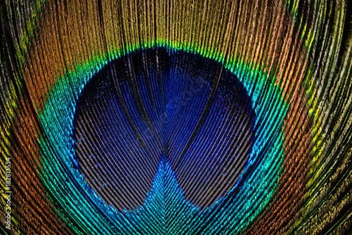Plexiglas Pauw Pfauenfeder