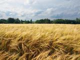 Barley Field In Summer - 182815562