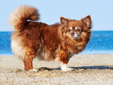 Portrait of a Chihuahua Longhair