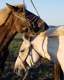 Two horses touching and bonding with each other. - 182826596