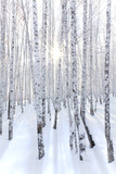 Snowcovered birch forest and rays of the sun - 182832112