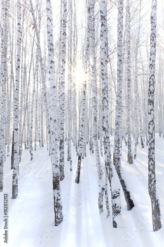 Snowcovered birch forest and rays of the sun