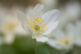 One single wood anemone flower in early spring sunlight - 182832566