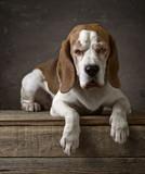 Portrait of a purebred Beagle . - 182835527