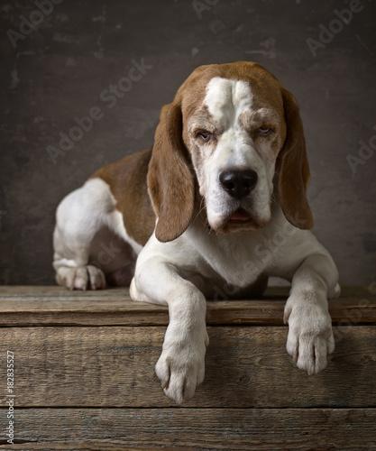 Portrait of a purebred Beagle .