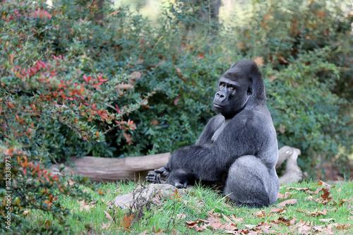 Foto op Aluminium Gras Gorilla