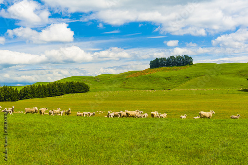 Fotobehang Fyle Sheep in the New Zealand