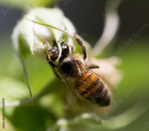 Fotobehang Bee bee on flowers in nature. macro