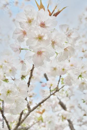 桜たちの囁き Poster