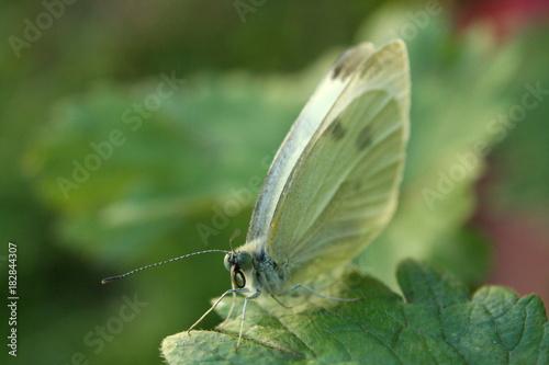 Fotobehang Vlinder Cabbage White Butterfly