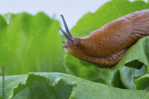 snail with lettuce leaf - 182851371