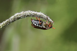 European cockchafer beetle, also known as  May bug or doodlebug, on a blade of grass - 182851507