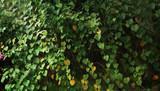 green ivy background - 182852964