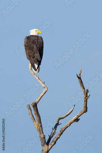 Plexiglas Eagle Bald Ealge in Virginia perched on branch.