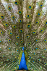 Peacock with feather detail