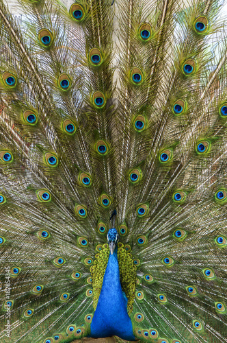 Aluminium Pauw Peacock with feather detail